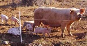 cochon d'élevage bio