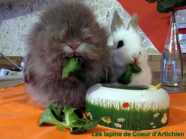 lapins coeur d'artichien mediation animale