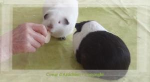cochon d'inde coeur d'artichien mediation animale