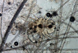 cheyletiella-parasitivorax