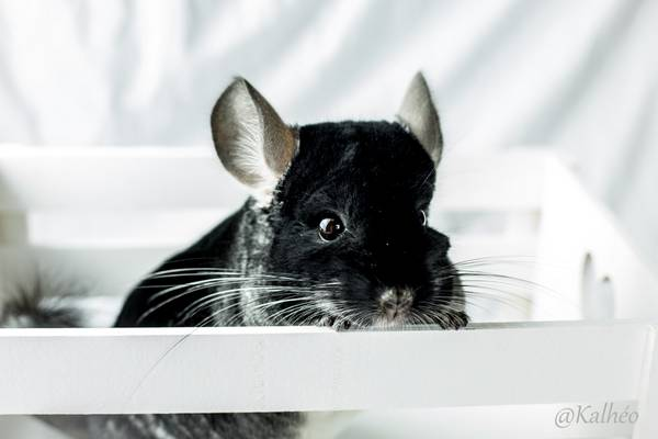 chinchillas coeur d'artichien